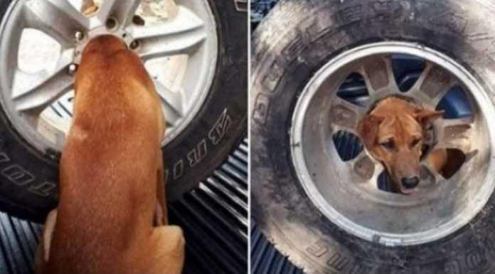 Kepala Anjing