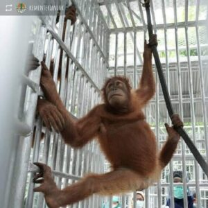 Orangutan (Humas KLHK)