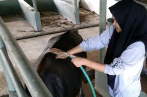 Usaha Penggemukan Sapi Mahasiswa Polbangtan Gowa
